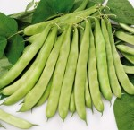 Green flat podded bean Minosse